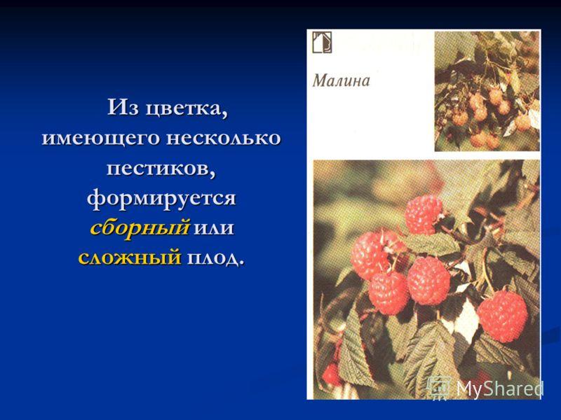 Из цветка, имеющего несколько пестиков, формируется сборный или сложный плод. Из цветка, имеющего несколько пестиков, формируется сборный или сложный плод.