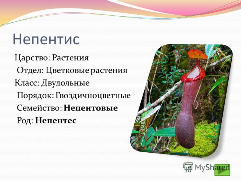 Непентис Царство: Растения Отдел: Цветковые растения Класс: Двудольные Порядок: Гвоздичноцветные Семейство: Непентовые Род: Непентес