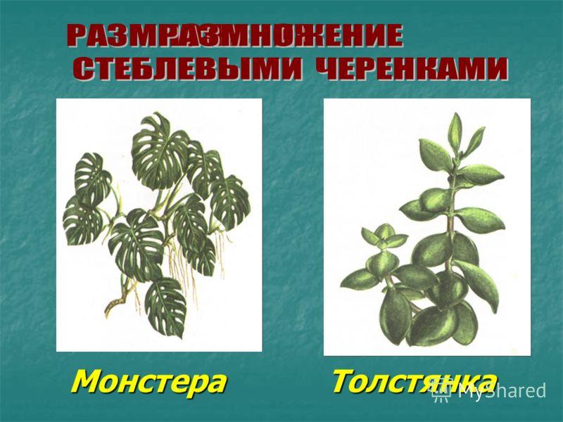 Монстера Толстянка