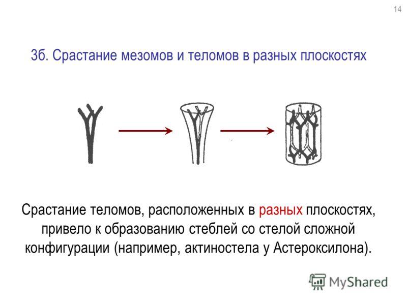 Срастание теломов, расположенных в разных плоскостях, привело к образованию стеблей со стелой сложной конфигурации (например, актиностела у Астероксилона). 3б. Срастание мезомов и теломов в разных плоскостях 1414