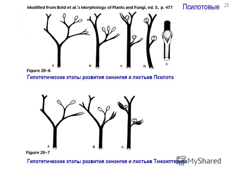 Псилотовые 25 Гипотетические этапы развития синангия и листьев Псилота Гипотетические этапы развития синангия и листьев Тмезиптериса