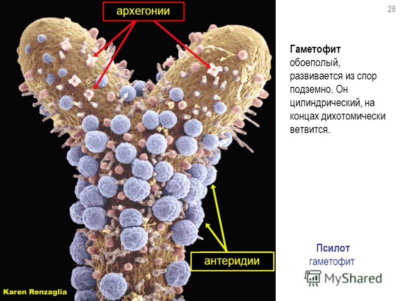 Гаметофит обоеполый, развивается из спор подземно. Он цилиндрический, на концах дихотомически ветвится. Псилот гаметофит архегонии антеридии 26