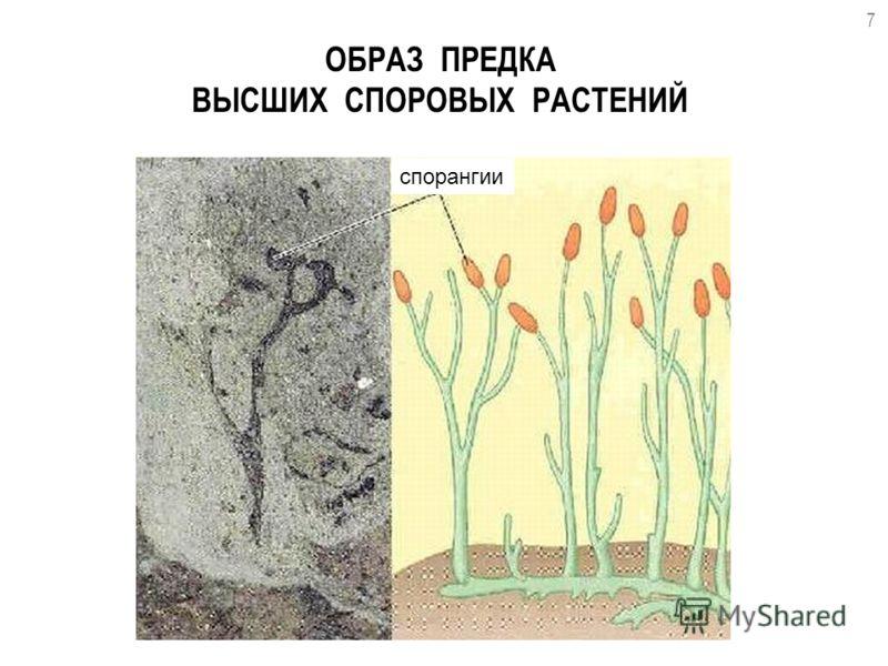 ОБРАЗ ПРЕДКА ВЫСШИХ СПОРОВЫХ РАСТЕНИЙ 7 спорангии
