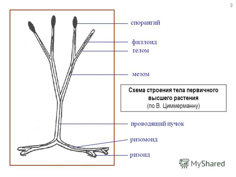 спорангий телом мезом Схема строения тела первичного высшего растения (по В. Циммерманну) проводящий пучок ризомоид ризоид 9 филлоид