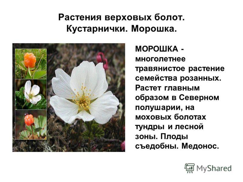 Растения верховых болот. Кустарнички. Морошка. МОРОШКА - многолетнее травянистое растение семейства розанных. Растет главным образом в Северном полушарии, на моховых болотах тундры и лесной зоны. Плоды съедобны. Медонос.