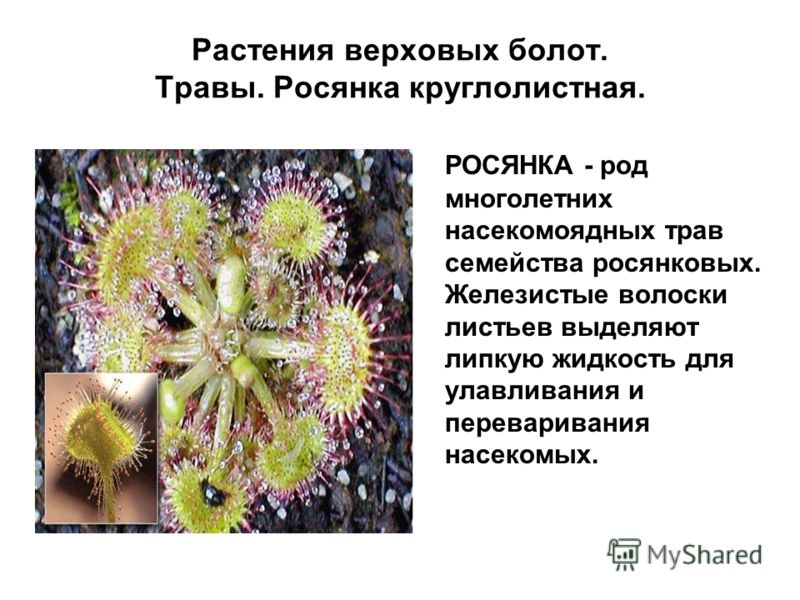 Растения верховых болот. Травы. Росянка круглолистная. РОСЯНКА - род многолетних насекомоядных трав семейства росянковых. Железистые волоски листьев выделяют липкую жидкость для улавливания и переваривания насекомых.