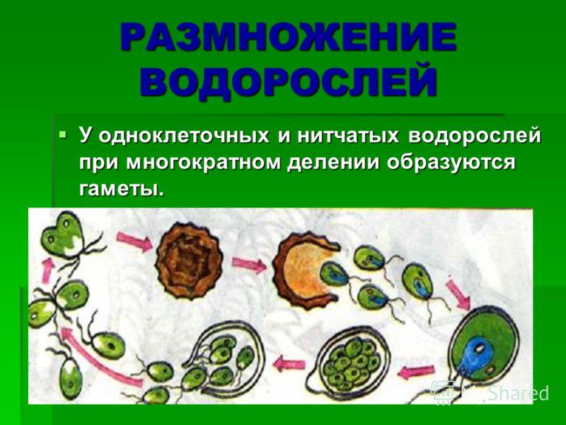 РАЗМНОЖЕНИЕ ВОДОРОСЛЕЙ У одноклеточных и нитчатых водорослей при многократном делении образуются гаметы. У одноклеточных и нитчатых водорослей при многократном делении образуются гаметы.