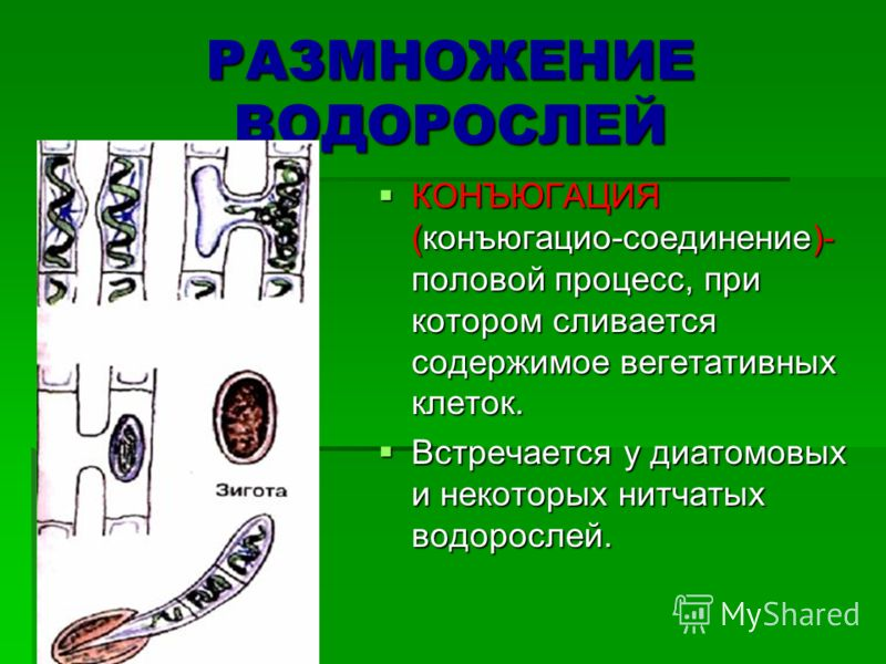 РАЗМНОЖЕНИЕ ВОДОРОСЛЕЙ КОНЪЮГАЦИЯ (конъюгацио-соединение)- половой процесс, при котором сливается содержимое вегетативных клеток. КОНЪЮГАЦИЯ (конъюгацио-соединение)- половой процесс, при котором сливается содержимое вегетативных клеток. Встречается у