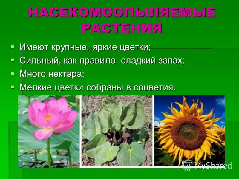 НАСЕКОМООПЫЛЯЕМЫЕ РАСТЕНИЯ Имеют крупные, яркие цветки; Имеют крупные, яркие цветки; Сильный, как правило, сладкий запах; Сильный, как правило, сладкий запах; Много нектара; Много нектара; Мелкие цветки собраны в соцветия. Мелкие цветки собраны в соц