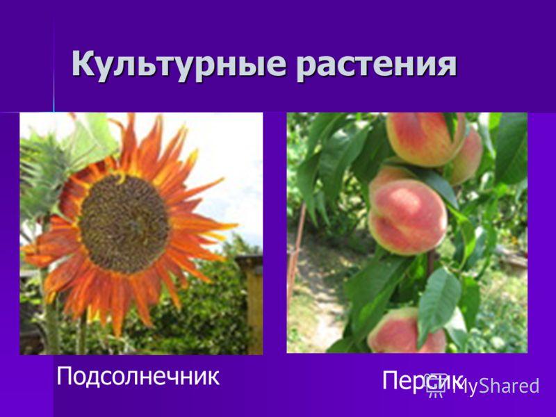 Культурные растения Подсолнечник Персик