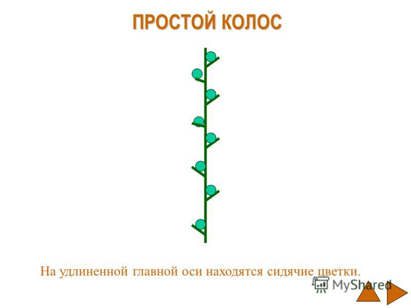 ПРОСТОЙ КОЛОС На удлиненной главной оси находятся сидячие цветки.