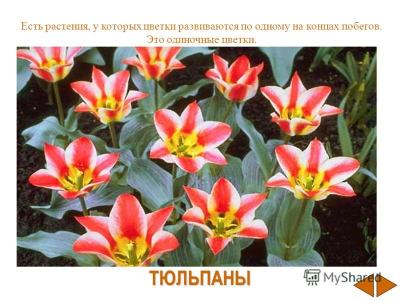 Есть растения, у которых цветки развиваются по одному на концах побегов. Это одиночные цветки. ТЮЛЬПАНЫ