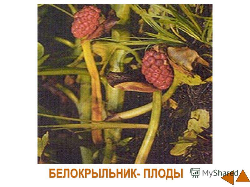 БЕЛОКРЫЛЬНИК- ПЛОДЫ