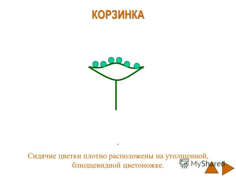 . КОРЗИНКА Сидячие цветки плотно расположены на утолщенной, блюдцевидной цветоножке.