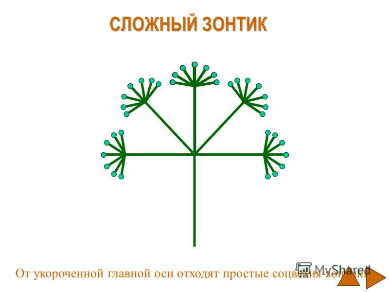 СЛОЖНЫЙ ЗОНТИК От укороченной главной оси отходят простые соцветия-зонтики.