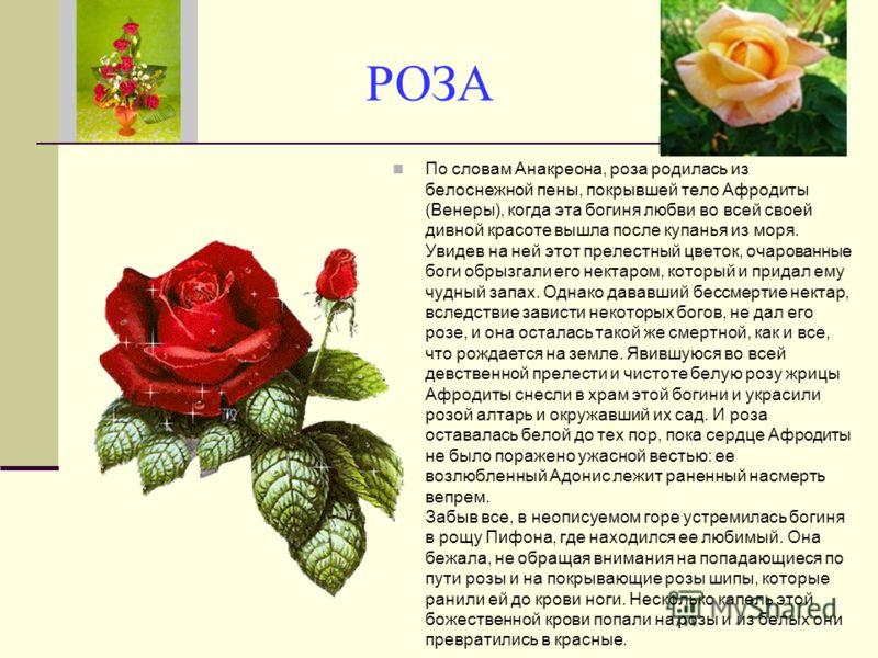 РОЗА По словам Анакреона, роза родилась из белоснежной пены, покрывшей тело Афродиты (Венеры), когда эта богиня любви во всей своей дивной красоте выш