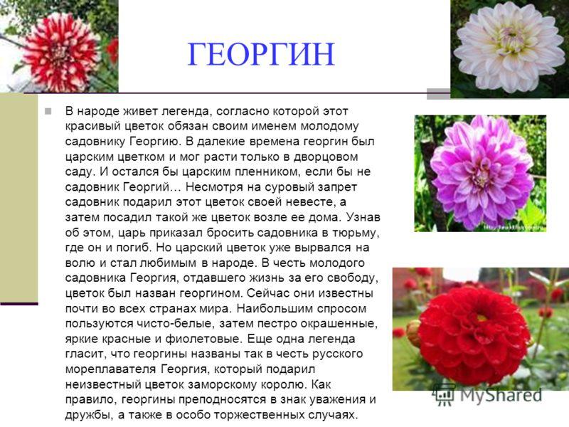 ГЕОРГИН В народе живет легенда, согласно которой этот красивый цветок обязан своим именем молодому садовнику Георгию. В далекие времена георгин был царским цветком и мог расти только в дворцовом саду. И остался бы царским пленником, если бы не садовн
