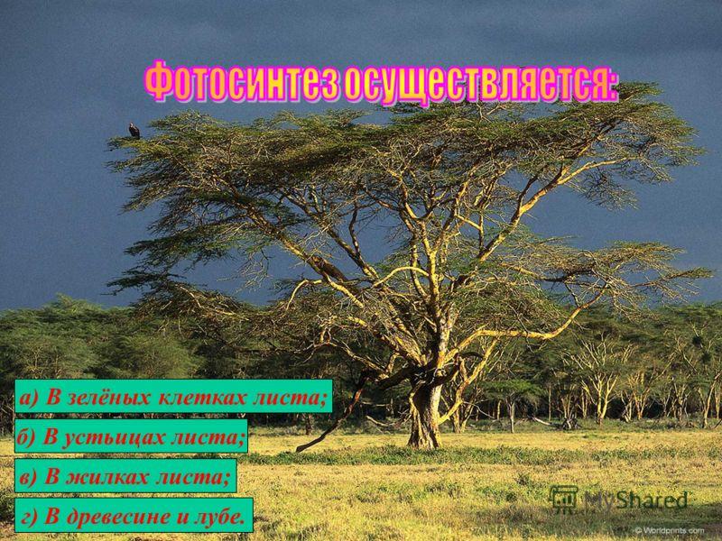 а) В зелёных клетках листа; б) В устьицах листа; в) В жилках листа; г) В древесине и лубе.
