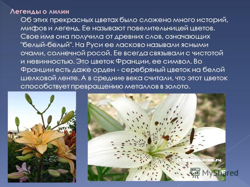 Легенды о лилии Об этих прекрасных цветах было сложено много историй, мифов и легенд. Ее называют повелительницей цветов. Свое имя она получила от древних слов, означающих