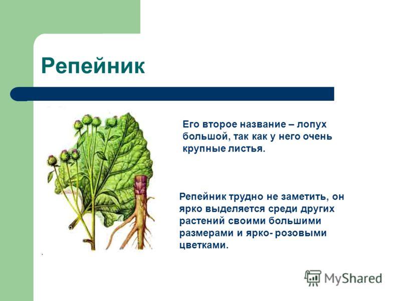 Репейник Его второе название – лопух большой, так как у него очень крупные листья. Репейник трудно не заметить, он ярко выделяется среди других растений своими большими размерами и ярко- розовыми цветками.