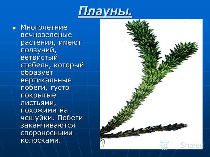 Хвощ топяной. Более крупное растение, достигающее 1,5 м. высотой. Стебель толстый, с 9-20 гладкими рёбрышками, простой или с короткими ветвями. Спороносит в июне – июле. Встречается обычно по болотам, берегам рек и прудов, по топким местам. Лекарстве