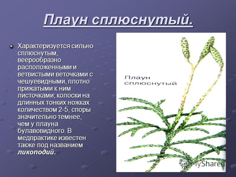 ПЛАУН БУЛАВОВИДНЫЙ многолетнее вечнозеленое, травянистое растение с очень длинным стелящемся по земле и укореняющемся стеблем и густо облиственными прямостоячими разветвленными ветвями. Растет в хвойниках, преимущественно в сосновых лесах, по лесным