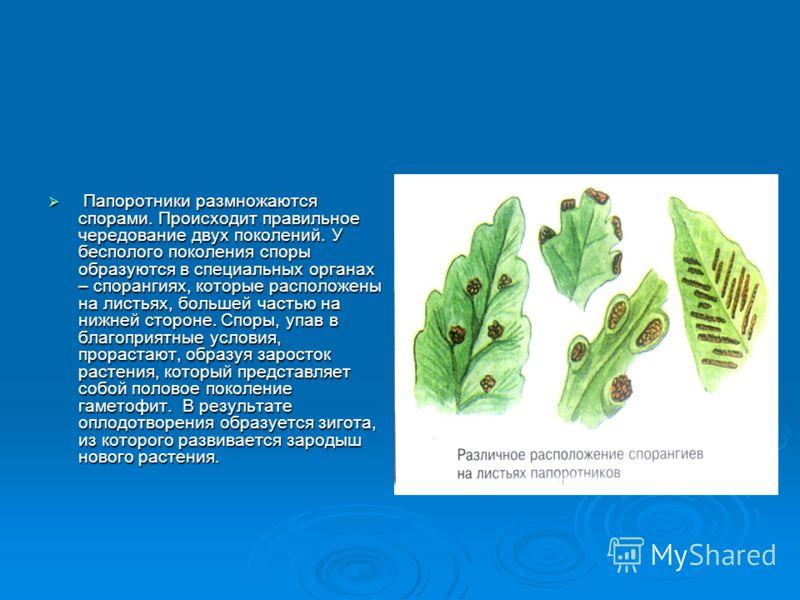 От корневища вверх отходят листья (вайи). У большинства они растут верхушками. Обычно листья выполняют две функции – фотосинтез и спороношение. От корневища вверх отходят листья (вайи). У большинства они растут верхушками. Обычно листья выполняют две