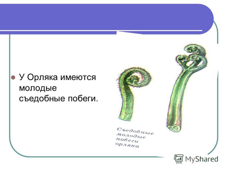 Также к лекарственным растениям относятся орляк и пузырник. ОРЛЯК. Многолетний довольно высокий папоротник с ползучим деревянистым корневищем и прямостоячим, округлым стеблем. Широко распространенное растение, встречающееся в сосновых еловых и берёзо