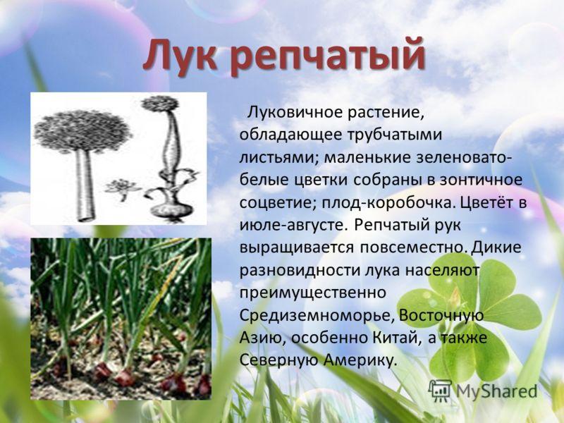 Лук репчатый Луковичное растение, обладающее трубчатыми листьями; маленькие зеленовато- белые цветки собраны в зонтичное соцветие; плод-коробочка. Цветёт в июле-августе. Репчатый рук выращивается повсеместно. Дикие разновидности лука населяют преимущ