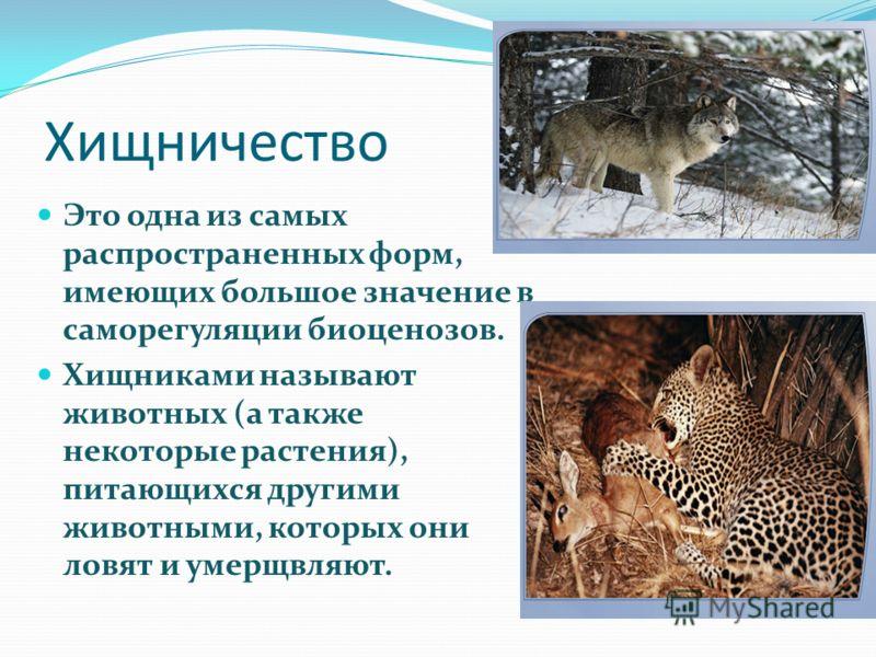 Хищничество Это одна из самых распространенных форм, имеющих большое значение в саморегуляции биоценозов. Хищниками называют животных (а также некоторые растения), питающихся другими животными, которых они ловят и умерщвляют.