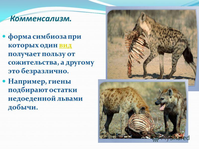 Комменсализм. форма симбиоза при которых один вид получает пользу от сожительства, а другому это безразлично.вид Например, гиены подбирают остатки недоеденной львами добычи.