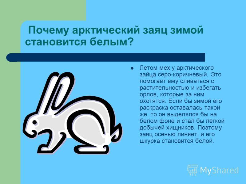 Почему арктический заяц зимой становится белым? Летом мех у арктического зайца серо-коричневый. Это помогает ему сливаться с растительностью и избегать орлов, которые за ним охотятся. Если бы зимой его раскраска оставалась такой же, то он выделялся б
