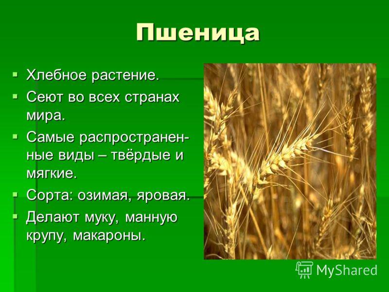 Пшеница Хлебное растение. Хлебное растение. Сеют во всех странах мира. Сеют во всех странах мира. Самые распространен- ные виды – твёрдые и мягкие. Самые распространен- ные виды – твёрдые и мягкие. Сорта: озимая, яровая. Сорта: озимая, яровая. Делают