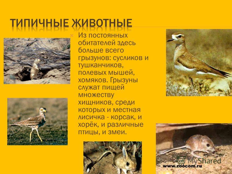 Полупустыни - это зона смешения степных и пустынных животных. В пустынях обитают перевязка, барханная кошка, ушастый ёж, песчанки, жёлтый суслик, тушканчики, змеи, ящерицы, агама, саджа. Из птиц в пустынях обитают жаворонки, коньки, зуйки, дрофа- кра