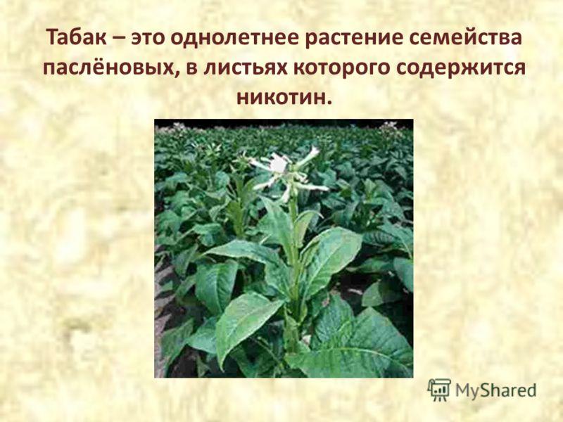 Табак – это однолетнее растение семейства паслёновых, в листьях которого содержится никотин.