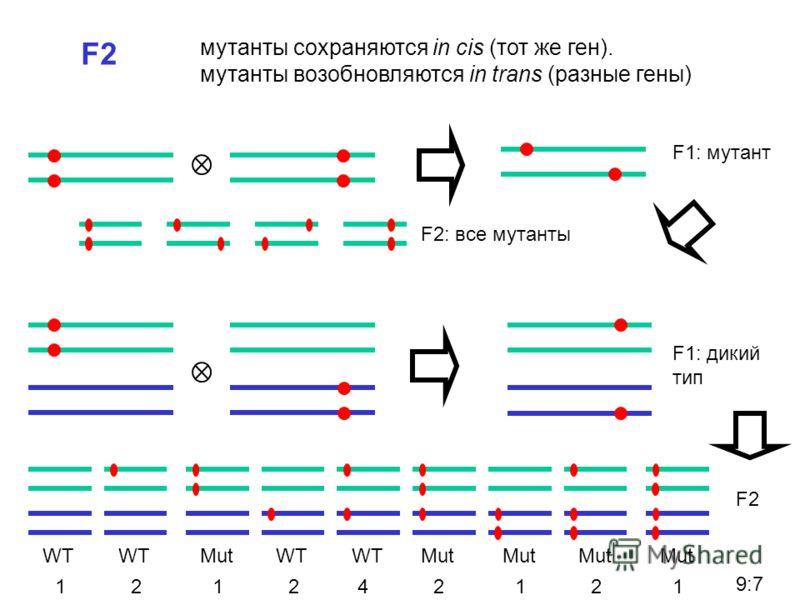 F2 мутанты сохраняются in cis (тот же ген). мутанты возобновляются in trans (разные гены) F1: мутант F1: дикий тип F2: все мутанты F2 WT Mut 122412121 9:7