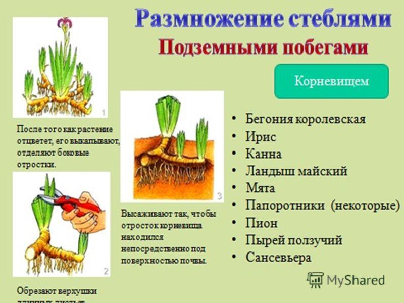 Два способа размножения растения