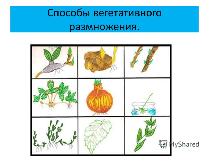 Способы вегетативного размножения.