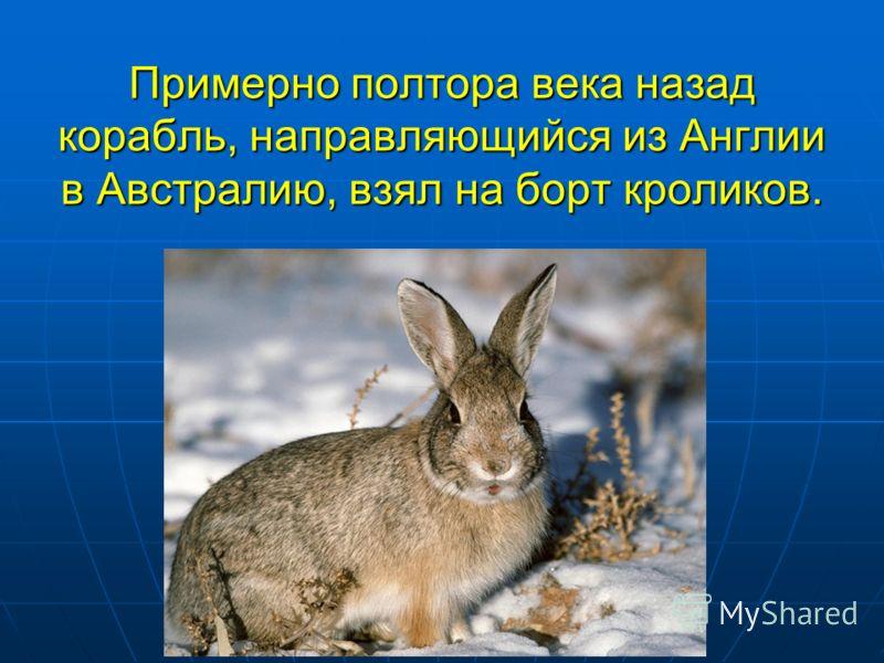 Примерно полтора века назад корабль, направляющийся из Англии в Австралию, взял на борт кроликов.