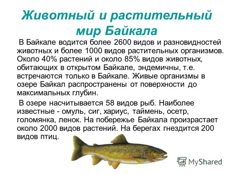 Животный и растительный мир Байкала В Байкале водится более 2600 видов и разновидностей животных и более 1000 видов растительных организмов. Около 40% растений и около 85% видов животных, обитающих в открытом Байкале, эндемичны, т.е. встречаются толь