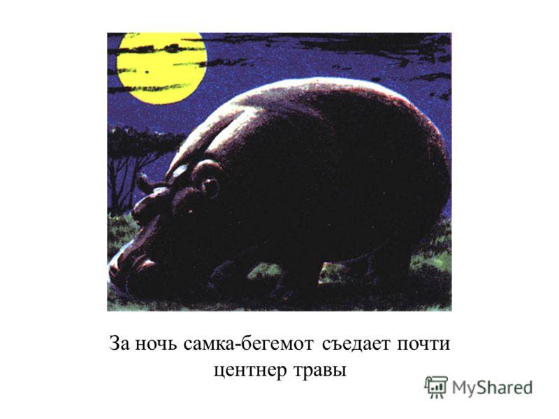 За ночь самка-бегемот съедает почти центнер травы