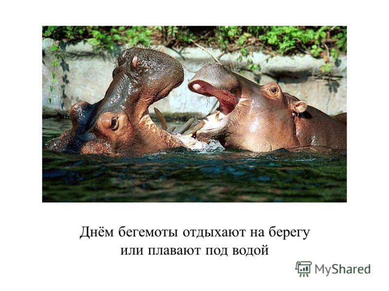 Днём бегемоты отдыхают на берегу или плавают под водой