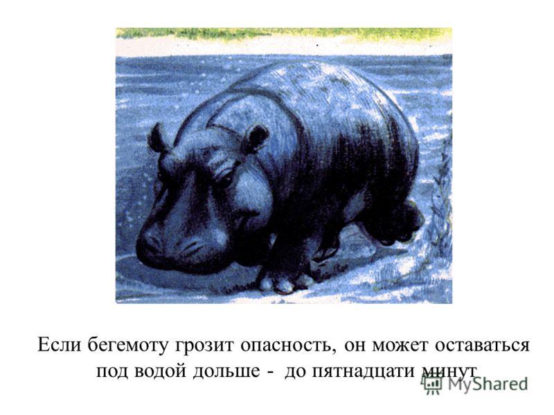 Если бегемоту грозит опасность, он может оставаться под водой дольше - до пятнадцати минут