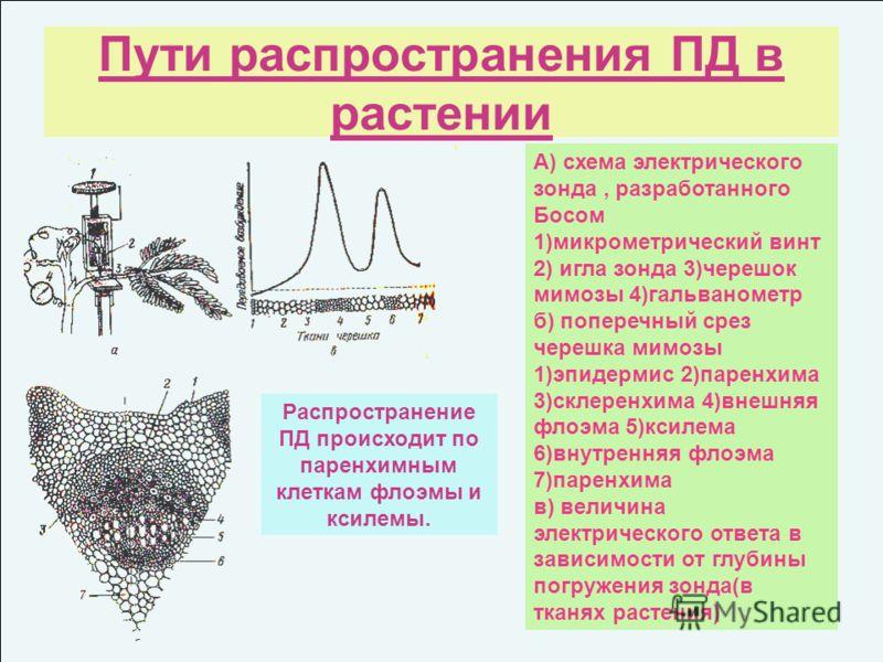 Пути распространения ПД в растении А) схема электрического зонда, разработанного Босом 1)микрометрический винт 2) игла зонда 3)черешок мимозы 4)гальванометр б) поперечный срез черешка мимозы 1)эпидермис 2)паренхима 3)склеренхима 4)внешняя флоэма 5)кс