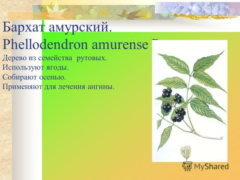 Бархат амурский. Phellodendron amurense Rupr. Дерево из семейства рутовых. Используют ягоды. Собирают осенью. Применяют для лечения ангины.