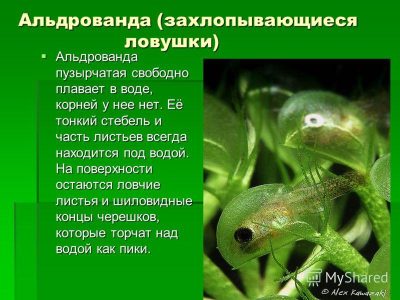 Альдрованда (захлопывающиеся ловушки) Альдрованда пузырчатая свободно плавает в воде, корней у нее нет. Её тонкий стебель и часть листьев всегда находится под водой. На поверхности остаются ловчие листья и шиловидные концы черешков, которые торчат на