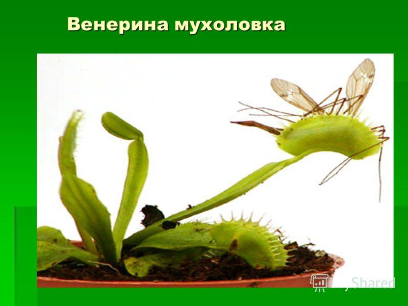 Венерина мухоловка Венерина мухоловка