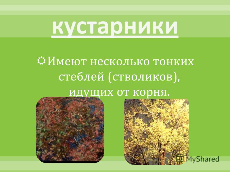 Имеют несколько тонких стеблей ( стволиков ), идущих от корня.