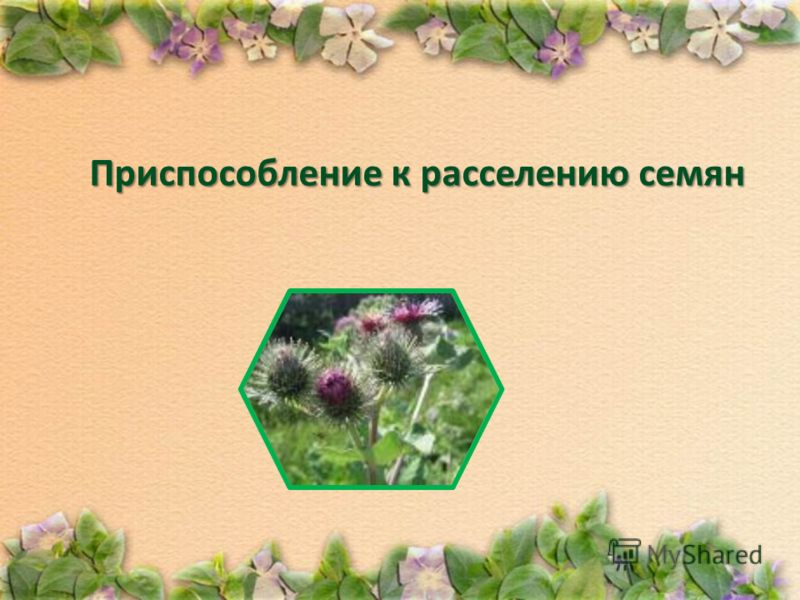Приспособление к расселению семян