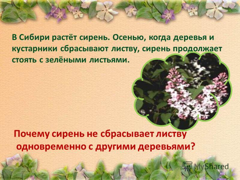 В Сибири растёт сирень. Осенью, когда деревья и кустарники сбрасывают листву, сирень продолжает стоять с зелёными листьями. Почему сирень не сбрасывает листву одновременно с другими деревьями?